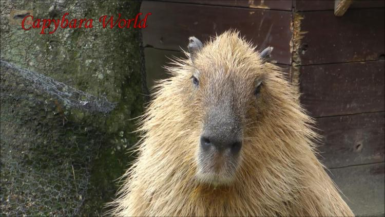 Would You Want To Be Responsible for the Death of This Capybara?