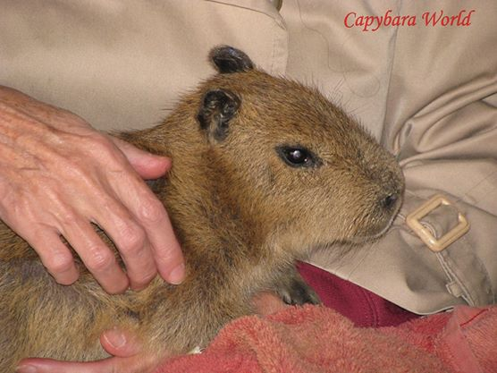 This Enchanting Young Capybara Died after Being Stung by Scorpion. In this photo he is sitting in my lap. He Was so Gentle and Trusting. I still cry when I think about him