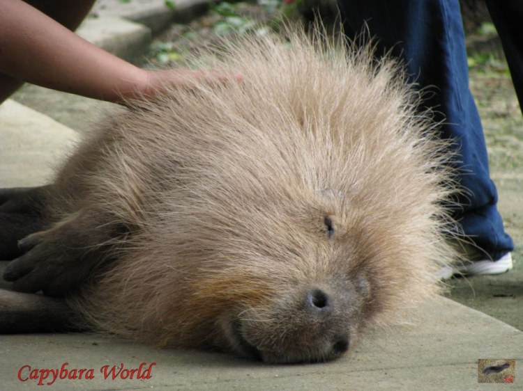 """Yasushi, who has longer hair then many capybaras, responds to being petted by """"pilo-erection"""" – his hair rises in response to the pleasurable stimulus."""