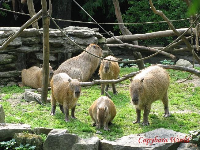 Capybaras Resting on Capuchin island