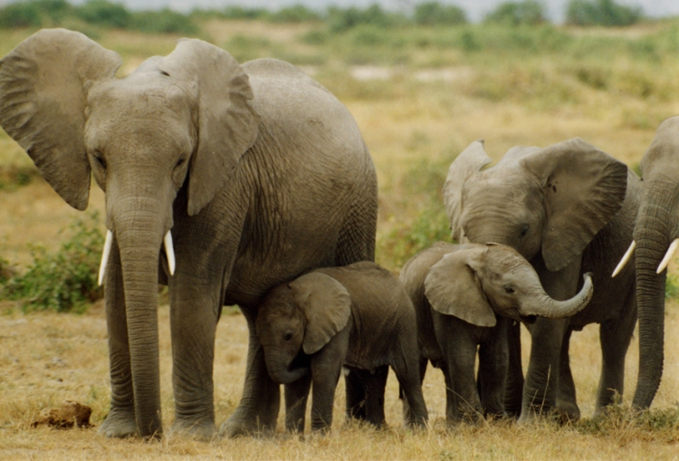 Elephants.  Photograph by Peter Knights For  wildaid.org
