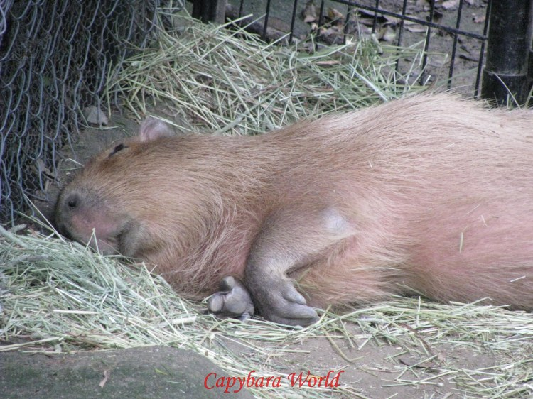 Yuzu, lying lifelessly at the far side of her enclosure