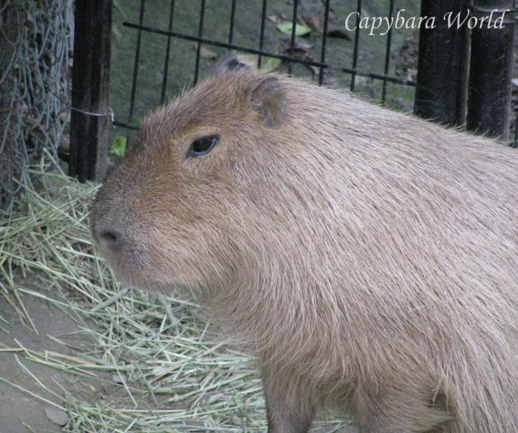 Capybaras have such expressive faces. You can see in Yuzu's eyes and the expression on her face how unhappy she is