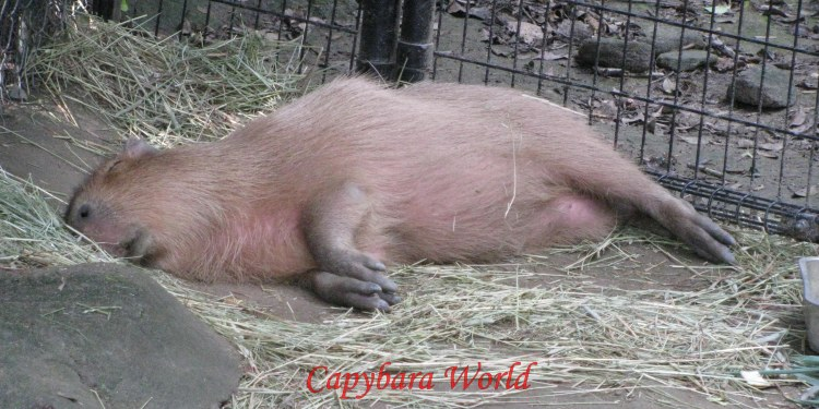 Yuzu spent the entire next day, Tuesday, lifeless at the back of her enclosure. I was certain she wouldn't survive... But You Never Know with Capybaras