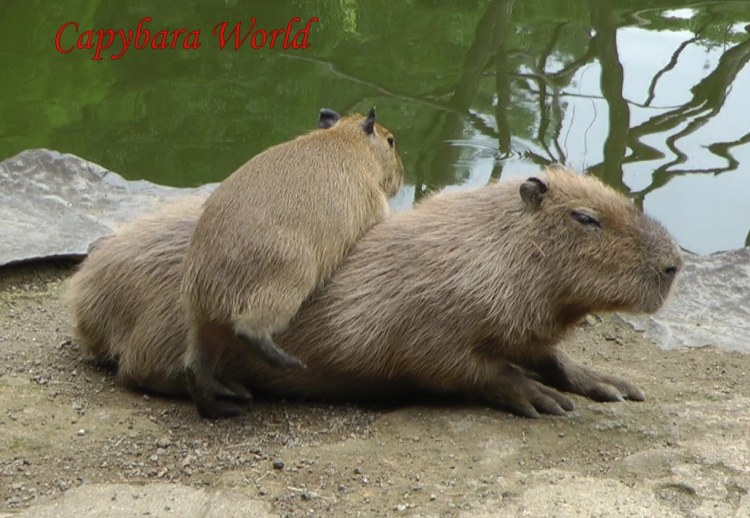 Aoba loves sleeping on top of other capybaras. Why sleep on cold, hard concrete when you can have a soft warm capybara body under you. Aoba is also a great networker so it made sense to try and sleep on top of Donguri; all the young capybaras want to associate with Donguri and they know she will never attack them