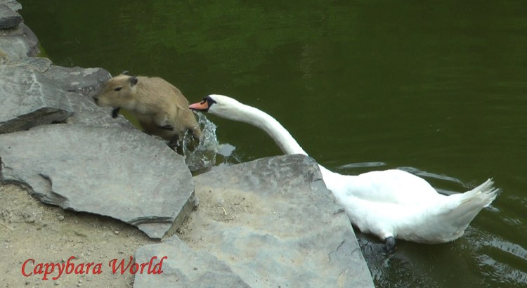 Poor little baby Cookie is attacked by the aggressive swan. He desperately tries to escape and climb out of the pond