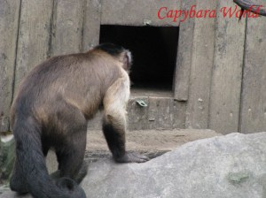 Goro, The Largest of the Capuchin Monkeys, Checks up on Choco in the Monkey House