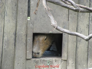 Choco's Nose Poking Out Of the Monkey House