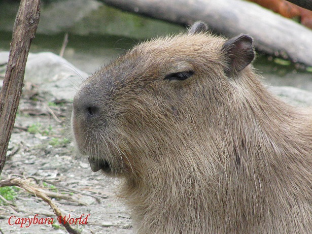 Choco chewing on a stone. Most if not all the capybaras at the Bio Park chew on stones to keep their teeth healthy.