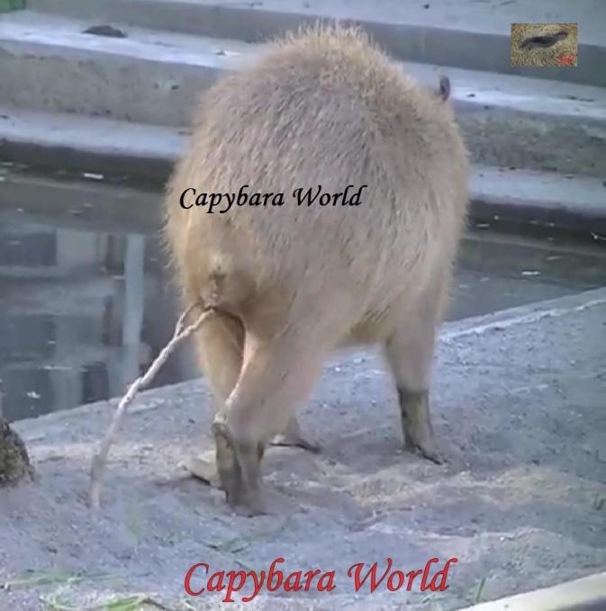 NWN scent marking capybara straddling plant