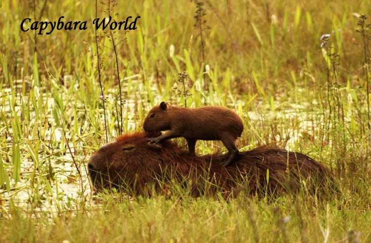WN baby capybara on mother South America