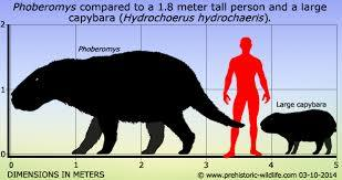 Phoberomys compared to human size and capybara