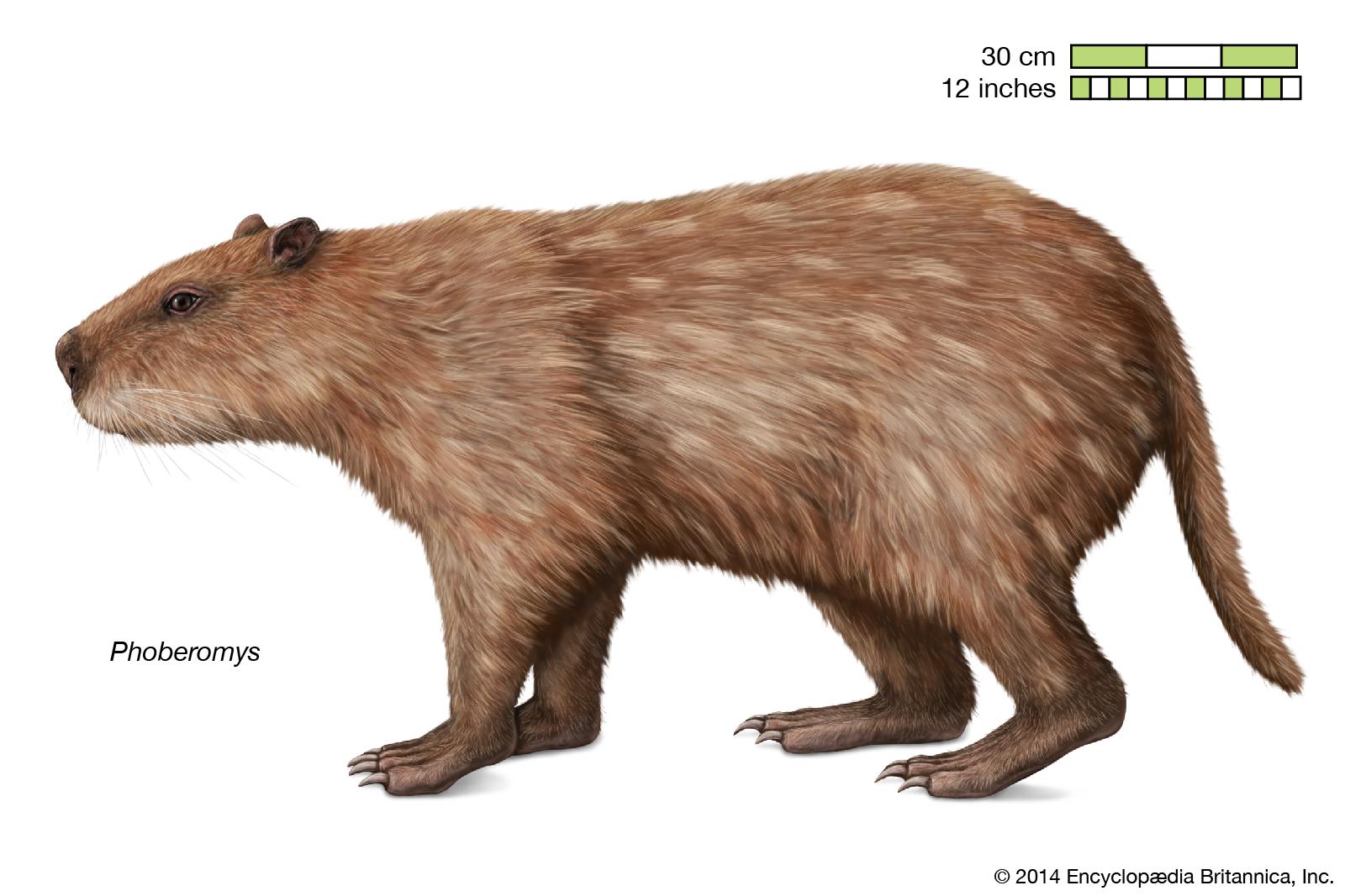Phoberomys-Rodentia-member